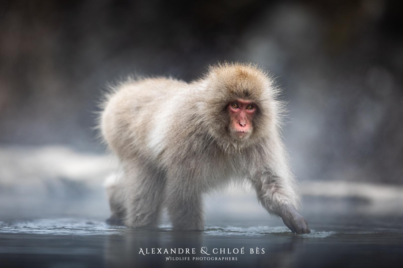 Ces macaques japonais… qui s'accouplent avec des cerfs!!