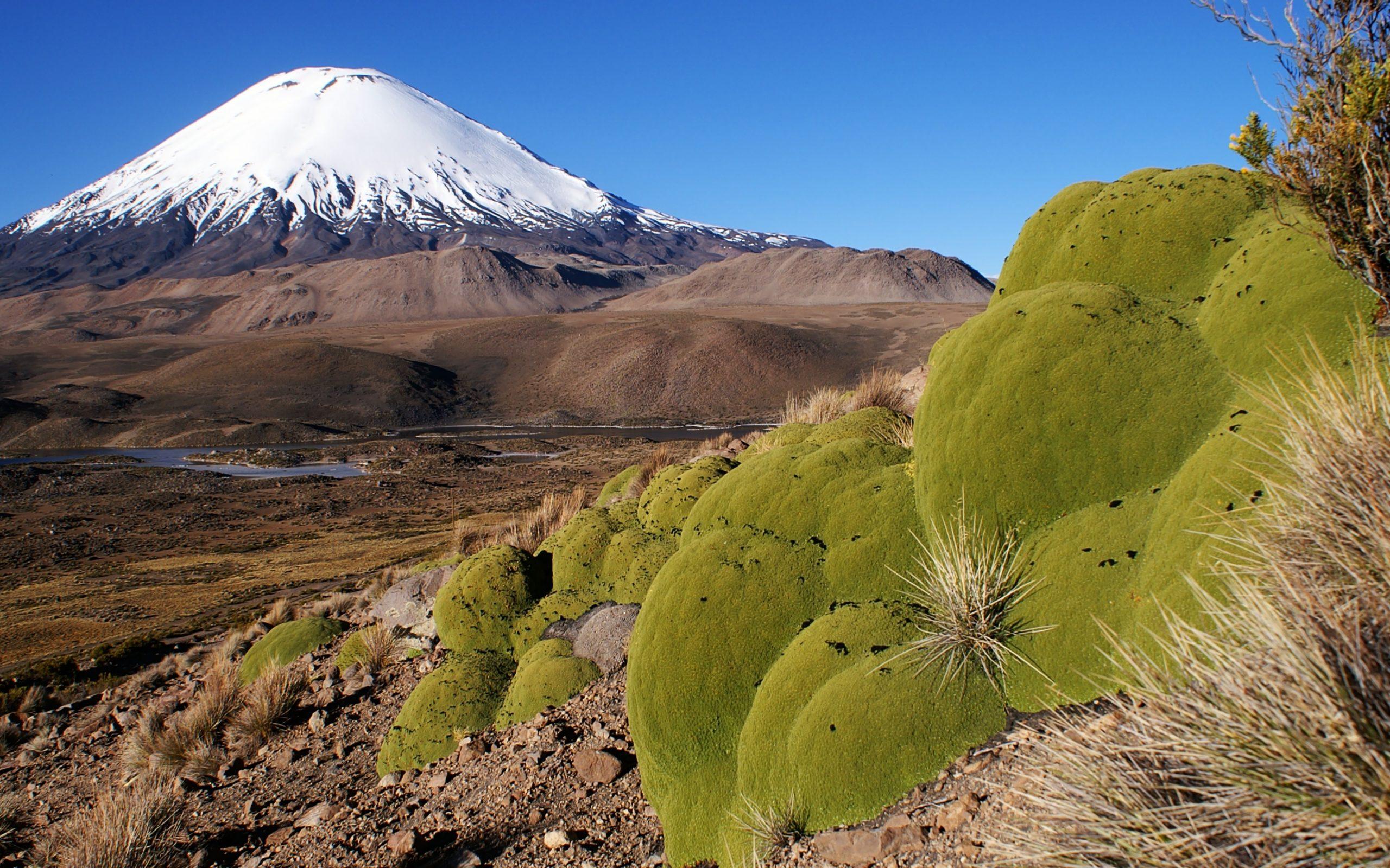 La Llareta, extraordinaire plante des Andes et modèle d'adaptation
