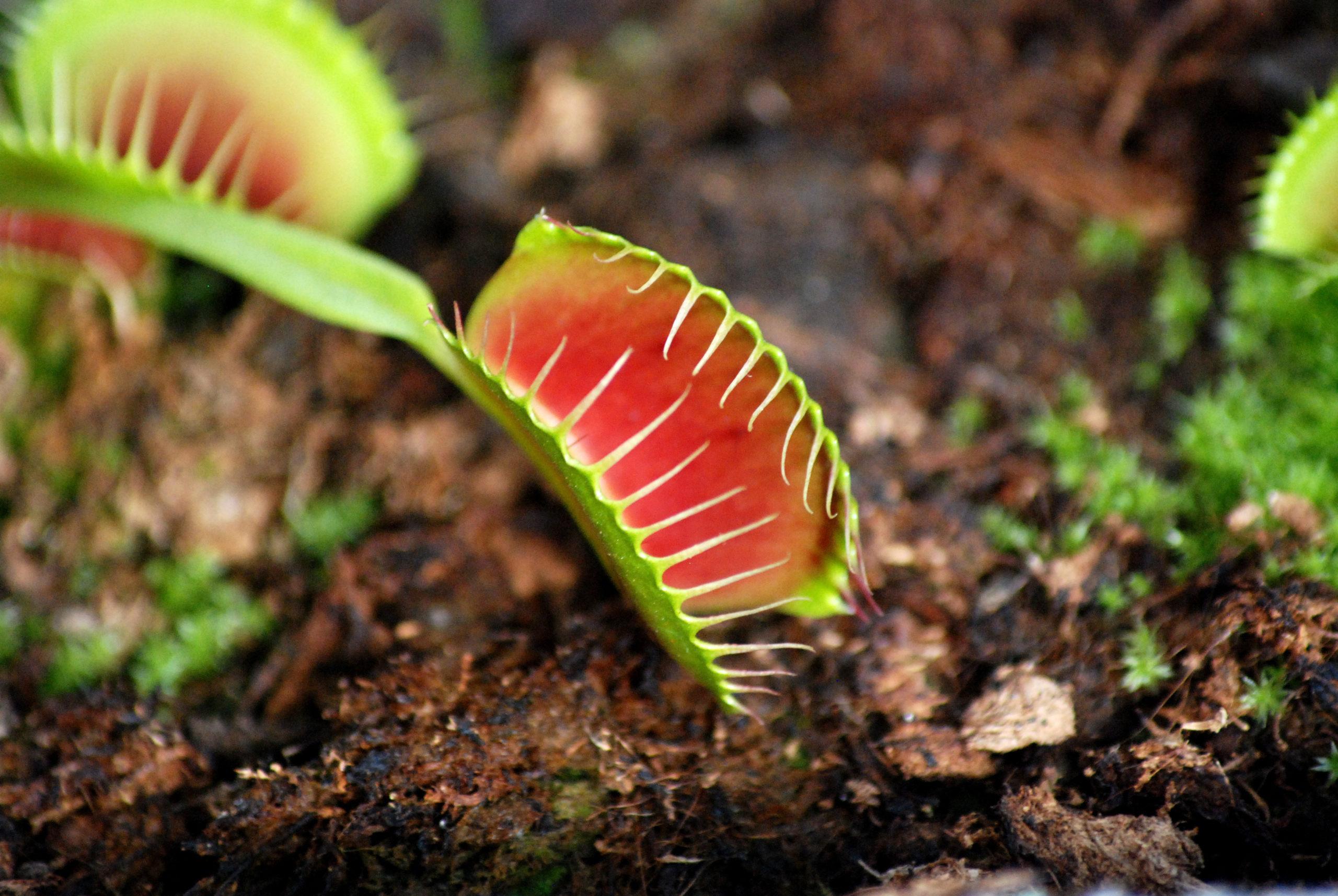 Plantes carnivores 6/7: les dionées: superstars de la famille