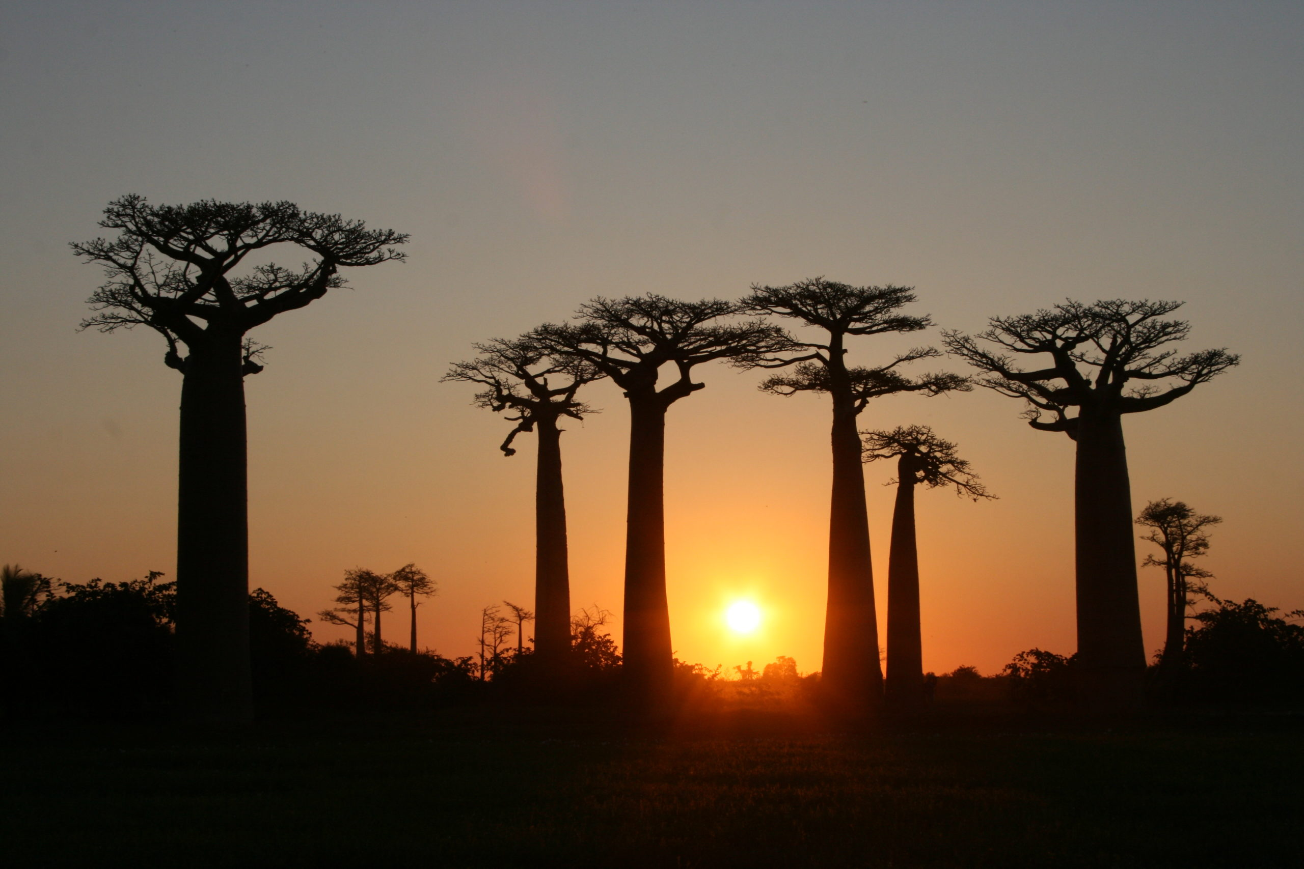 10 infos étonnantes sur les baobabs