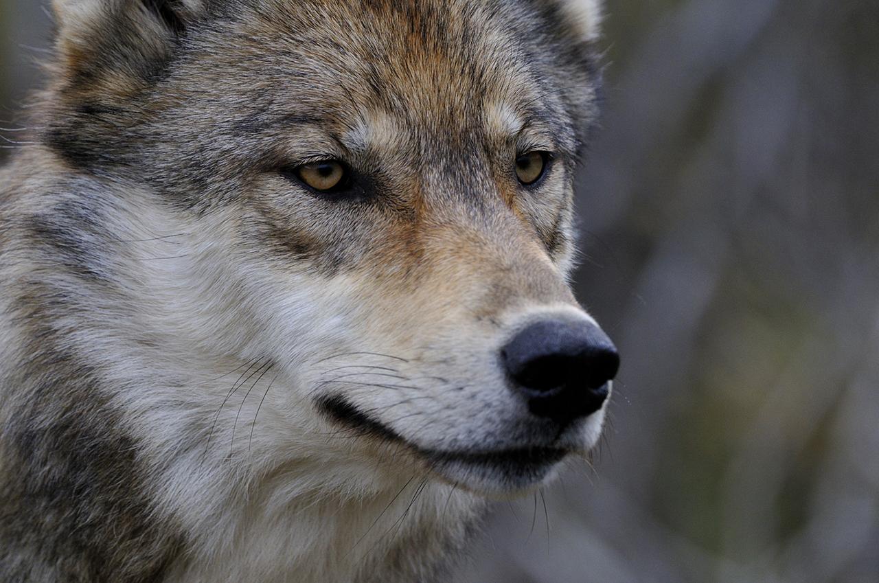 Le loup: superprédateur ET régulateur