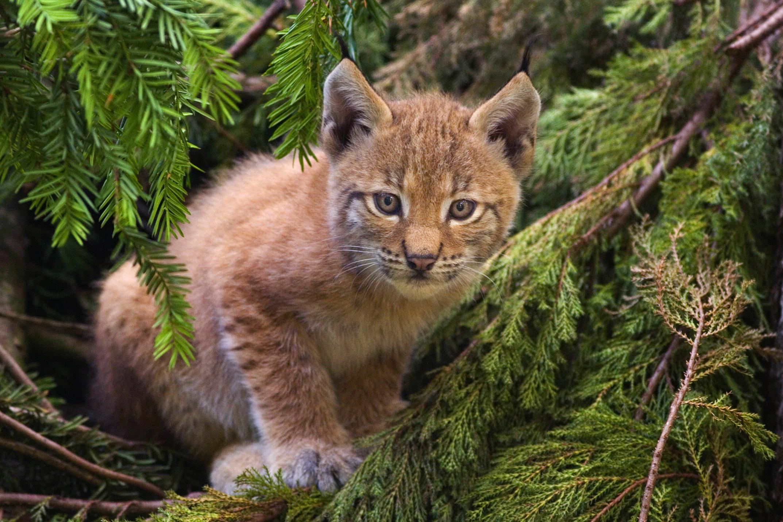 10 infos étonnantes sur le lynx