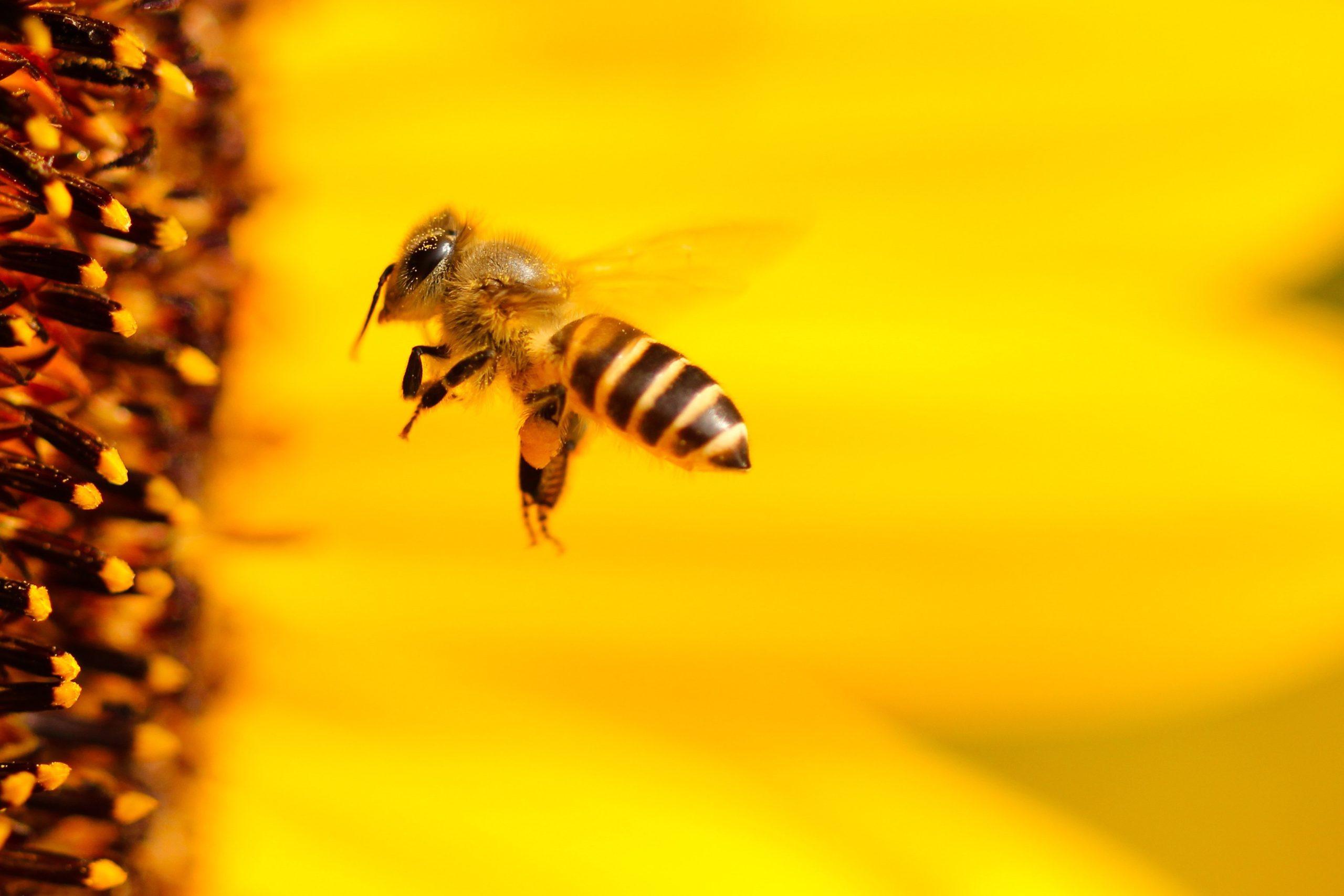 Abeilles domestiques/abeilles sauvages: Le miel de la discorde