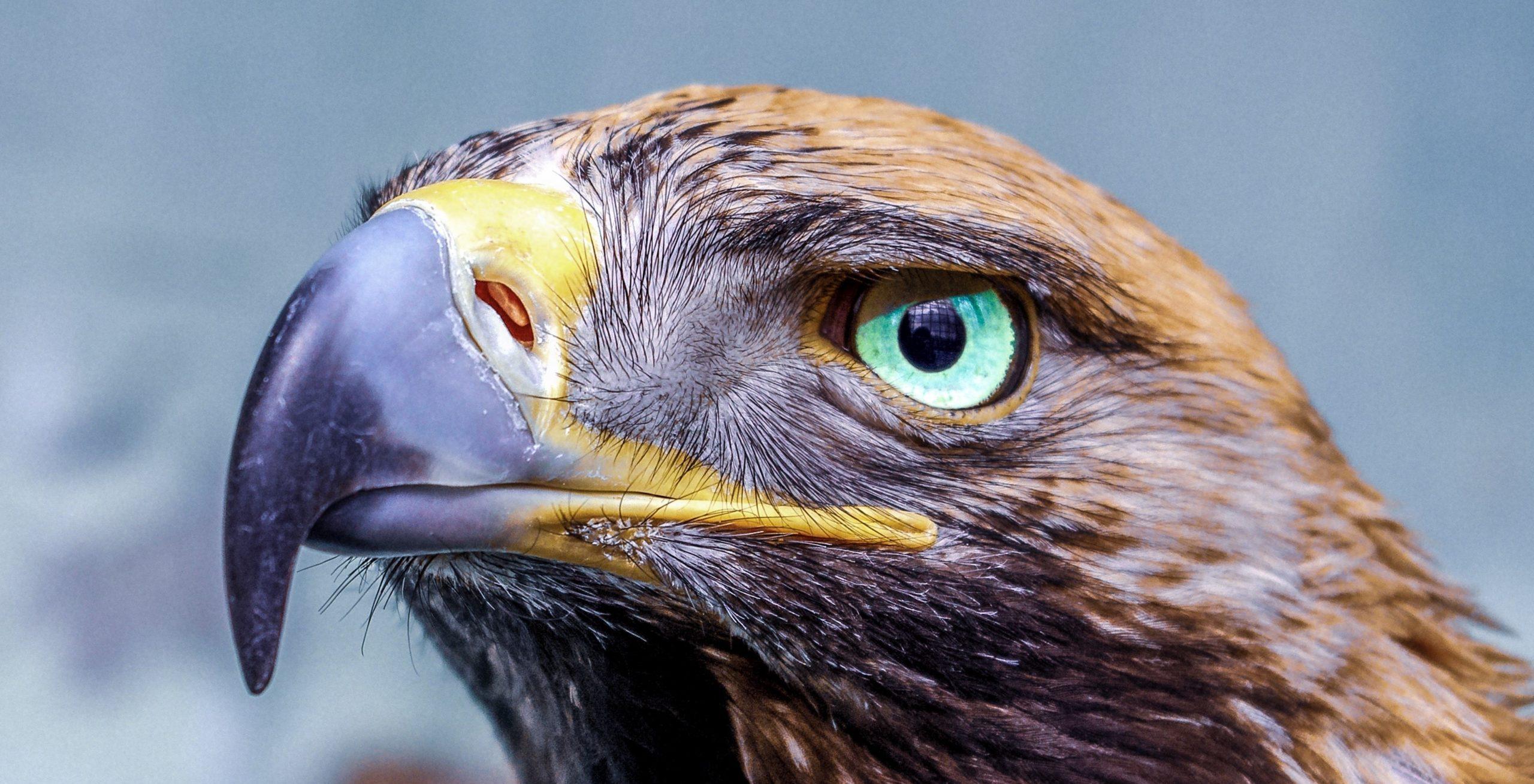 L'aigle, oiseau par excellence, comme le raconte son étymologie…