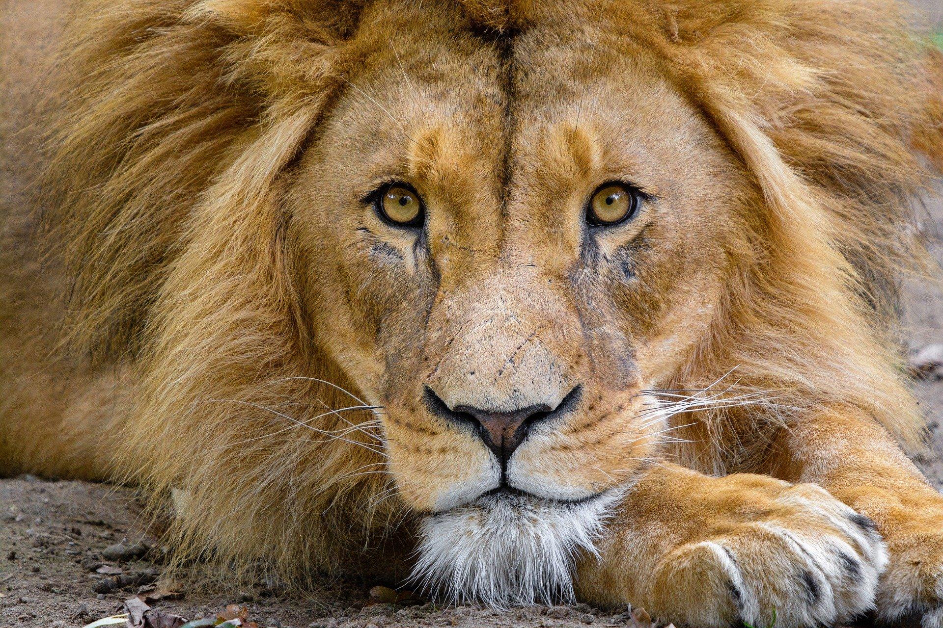 10 infos étonnantes sur le lion