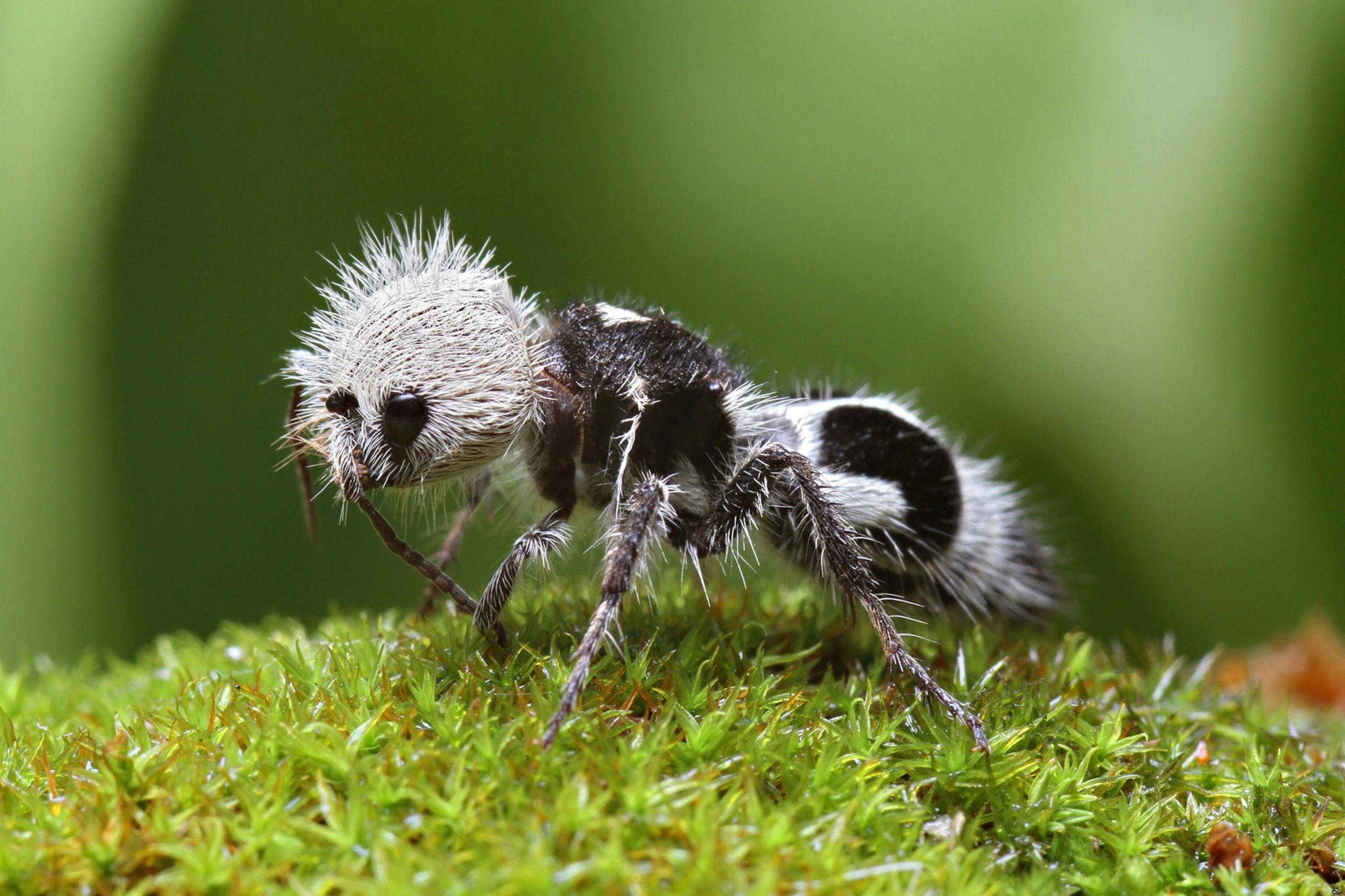 # 46 – La fourmi-panda
