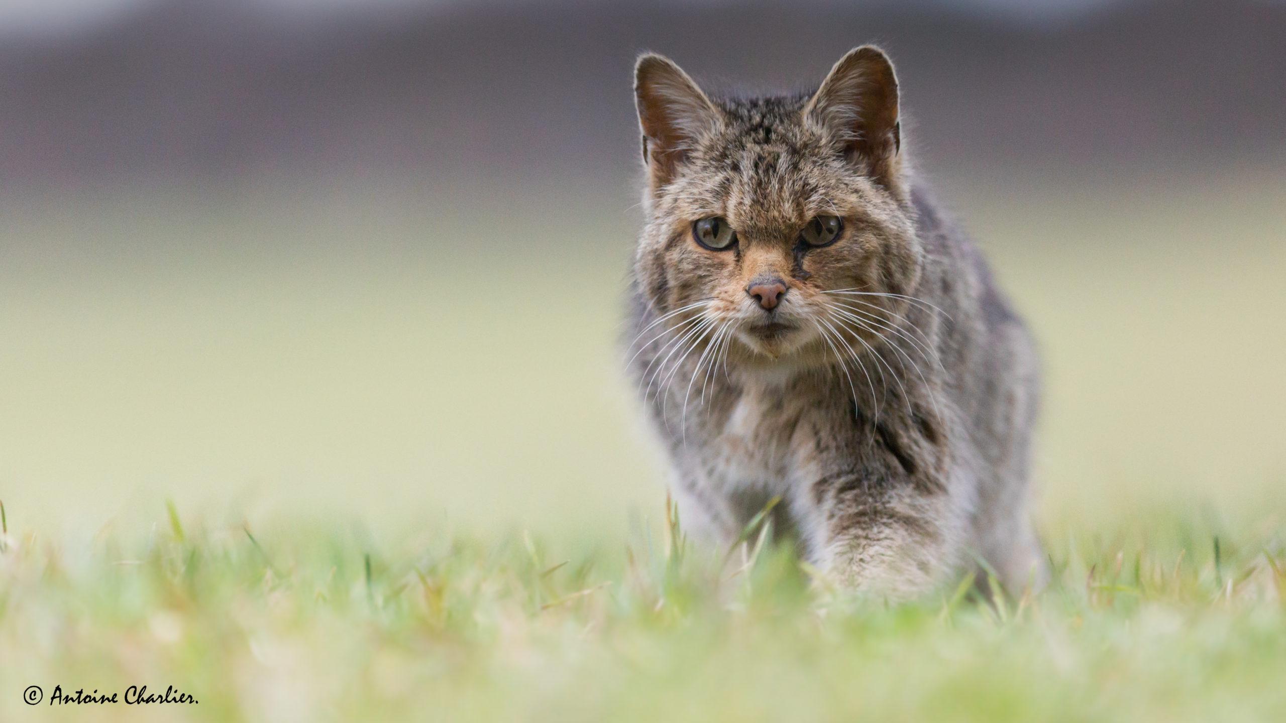 L'impact des chats sur la biodiversité