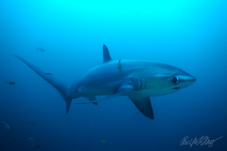 Requin-renard: un «fléau» qui chasse avec… sa queue !